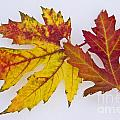 Two Autumn Maple Leaves  by James BO  Insogna
