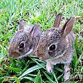Two Baby Bunnies by Renee Trenholm