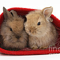 Two Baby Lionhead-cross Rabbits by Mark Taylor