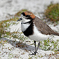Two-banded Plover Charadrius by Martin Withers