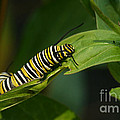 Two Caterpillars by Steve Augustin