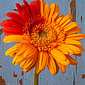 Two Color Gerbera Daisy by Garry Gay