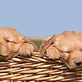 Two Cute Puppies Asleep In Basket by Cindy Singleton