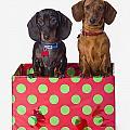 Two Dachshund Puppies Inside A Polka by Corey Hochachka