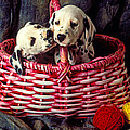 Two Dalmatian Puppies by Garry Gay
