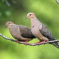Two Doves by Travis Truelove