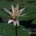 Two Frogs Sharing A Lotus by Rich Walter