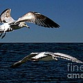 Two Gulls by Dale   Ford