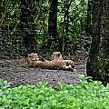Two Headed Cheetah by Carol  Bradley