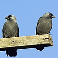 Two Jackdaws by Duncan Shaw