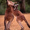 Two Kangaroos Appear To Be Dancing by Medford Taylor