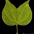 Two Lobed Leaf by Raul Gonzalez Perez