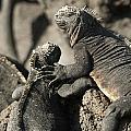 Two Marine Iguanas Amblyrhynchus by Keith Levit