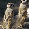 Two Meerkats, Suricata Suricatta, Stand by Nicole Duplaix