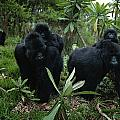Two Mother Gorillas Carrying by Michael Nichols