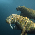 Two Pacific Walruses Swim Together by Bill Curtsinger