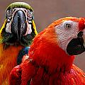Two Parrots Closeup by Susan Savad