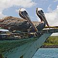 Two Pelicans Pelecanus Occidentalis On by Robert Brown