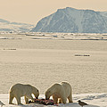 Two Polar Bears Eat A Carcass As Sea by Norbert Rosing