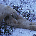 Two Polar Bears Wrestle In The Snow by Nick Norman