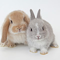 Two Rabbits.netherland Dwarf And Holland Lop. by Yasuhide Fumoto