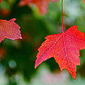 Two Red Maple Leaves by Mick Anderson