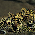 Two Sleepy Four-month-old Leopard Cubs by Kim Wolhuter