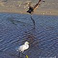 Two Strutting Egrets by Stephen Whalen