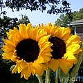 Two Sunflowers by Rita Brown
