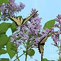 Two Swallowtails by Stephanie Kripa