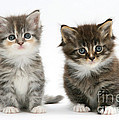 Two Tabby Kittens by Mark Taylor