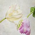 Two Tulips by Nailia Schwarz