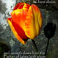 Two Tulips Shadow Scripture by Cindy Wright