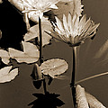Two Waterlilies Sepia by Greg Matchick