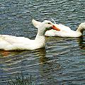 Two White Ducks by Susan Savad