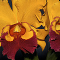 Two Yellow And Red Orchids by Phyllis Denton