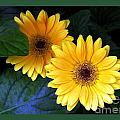 Two Yellow Dahlias by Dale   Ford