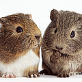 Two Young Guinea Pigs by Mark Taylor