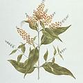 Umtar - Buddleia Polystachya by James Bruce