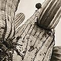 Under Saguaro by Barbara Northrup