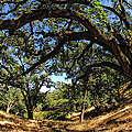 Under The Oak Canopy by Donna Blackhall