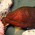 Undulated Moray Eel  by MotHaiBaPhoto Prints