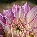 Unnamed Dahlia 3002 by Susan Herber