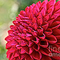 Unnamed Dahlia  4001 by Susan Herber