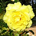 Upbeat Yellow Rose by Will Borden
