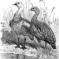 Upland Geese by Granger
