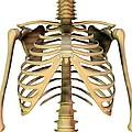 Upper Torso Bones, Artwork by Friedrich Saurer