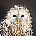 Ural Owl by Tom Gowanlock