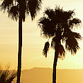 Usa, California, Palm Springs, Palm Trees Silhouetted At Sunset by Tetra Images