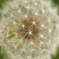 Usa, Pennsylvania, Close-up View Of Dandelion by Calysta Images